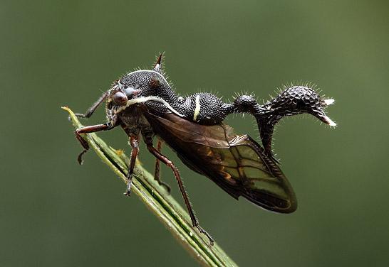 Insectes bien étranges   :  Heteronotus1