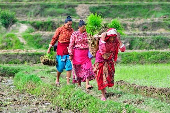 ネパールの田植え風景