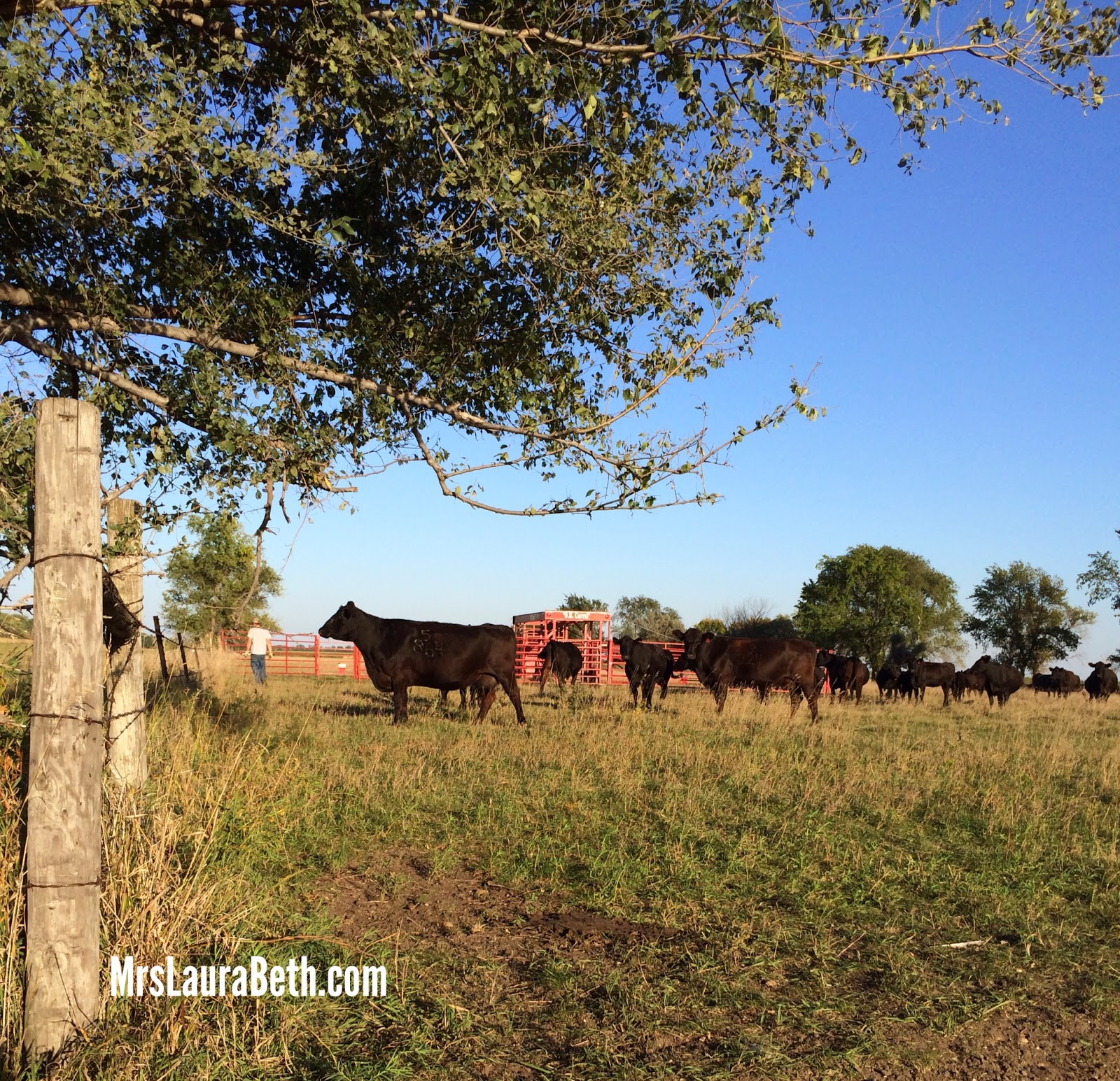 pasture; farm life; black angus; beef; cattle; ranch; farm