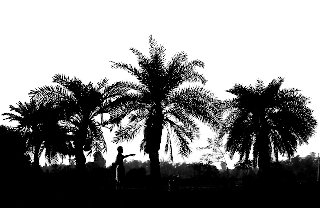 silhouette scene of a man plucking coconuts from coconut trees