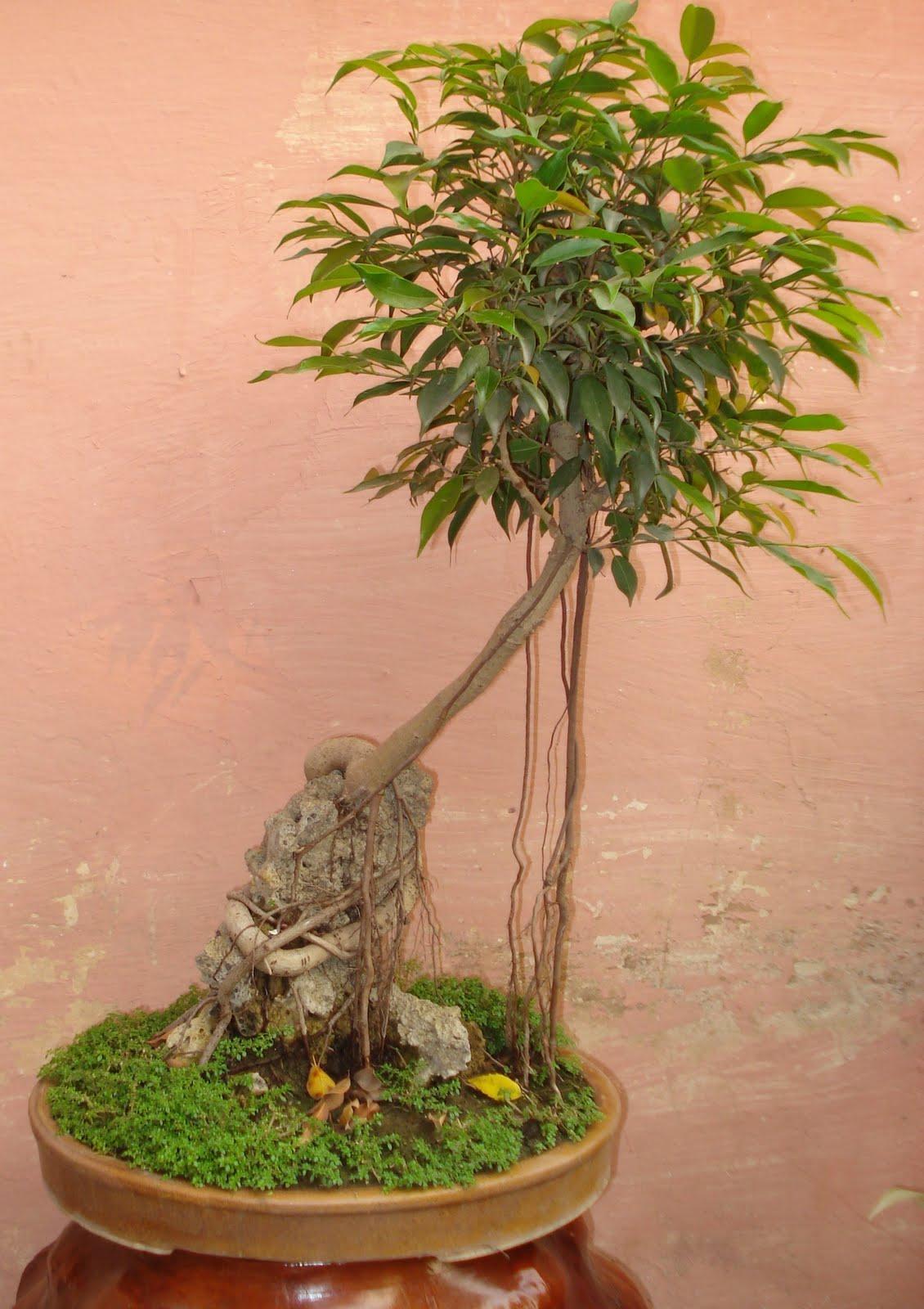 SUITABILITY OF FICUS FAMILY FOR BONSAIS BONSAIS PLANTS AS GIFTS