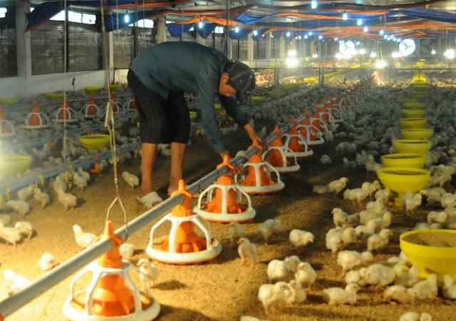 Công nhân cho gà ăn tại một trang trại ở xã Tân An, huyện Vĩnh Cửu, Đồng Nai - Ảnh: A Lộc