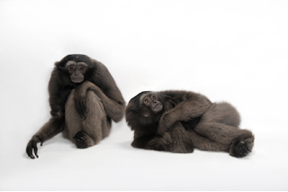 Joel Sartore, National Geographic, endangered animals, gray gibbons