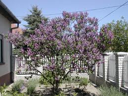 Lilac Tree Flowers Image
