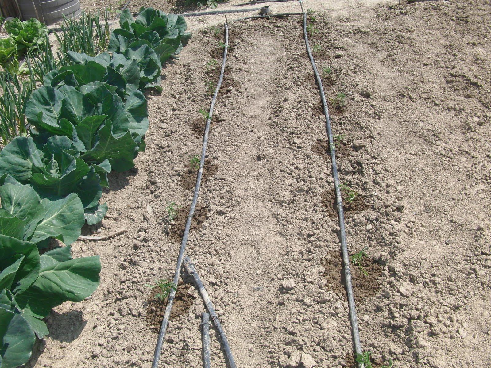 Un huerto familiar tomates y otras plantas dia 29 abril - Manguera de goteo ...