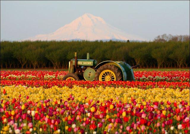 10 شهر مايو في هولندا  موسم حصاد زهور التوليب  جنة على الأرض