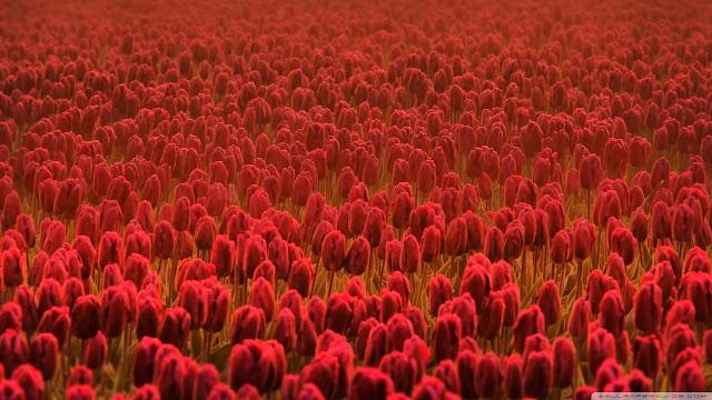 Ảnh đẹp cuộc sống: Bộ hình nền đẹp về cánh đồng hoa Tulip 12