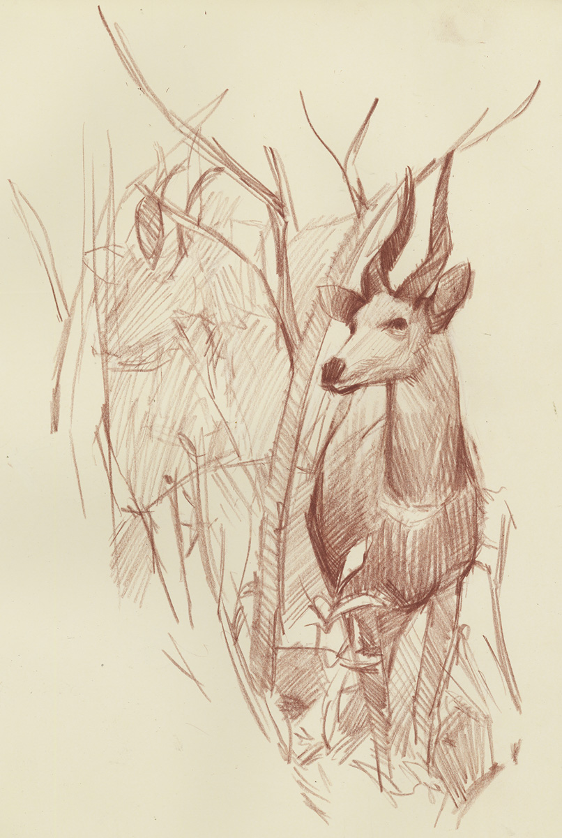 Spent superbowl sunday drawing bushbucks at the california academy of sciences