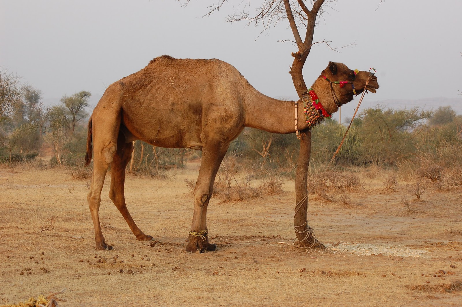Двугорбый верблюд Википедия