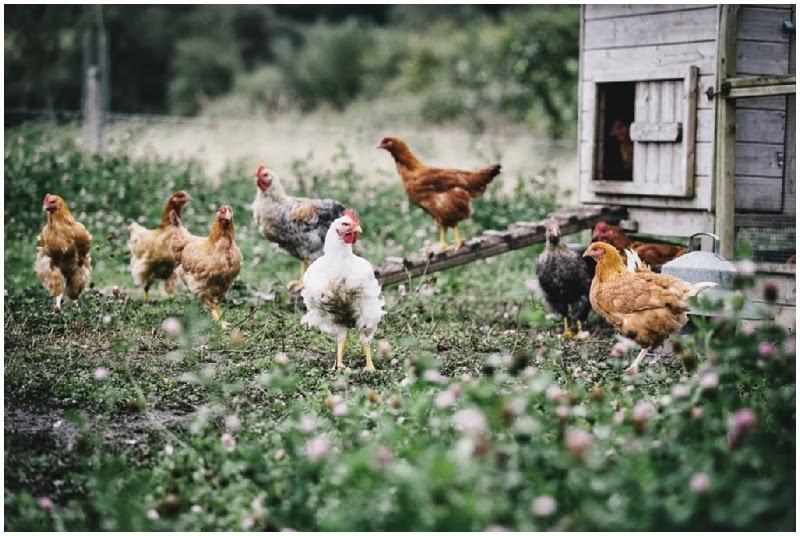 Chickens at River Cottage HQ Devon