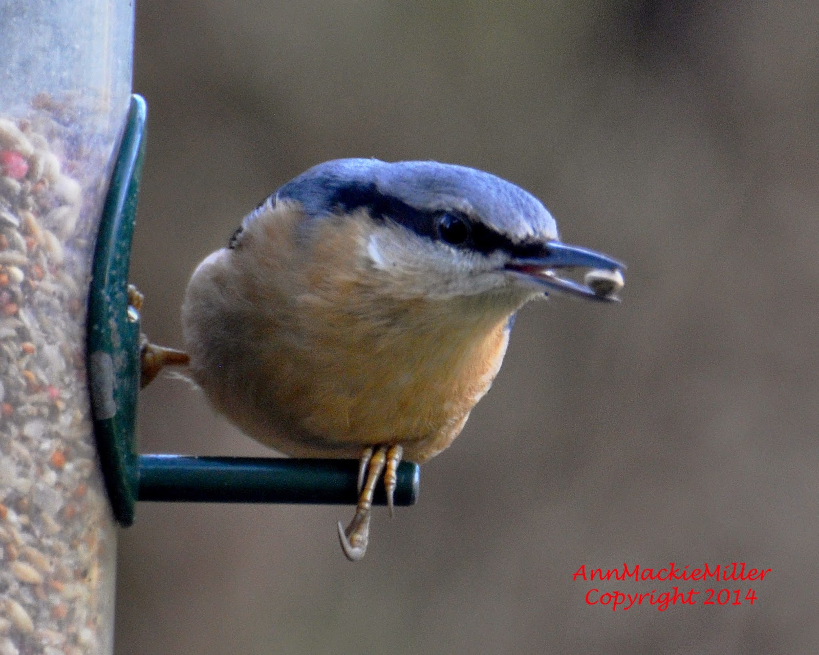 nuthatch on garden feeder with seed in beak
