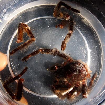 Aranha caranguejeira (Tarântula)