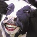 Mrs. Cow