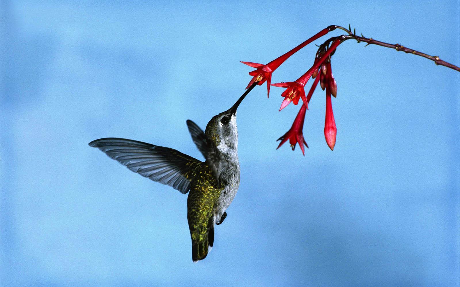 Hummingbird Art Wallpaper