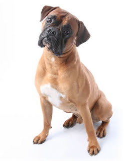 Choosing Best Dogs For Kids Information boxer
