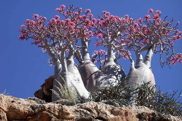 Socotra Island, Yemen, amriholiday.blogspot.com, All about paradise, holiday, travel tips, and tourist resort, Dragon Blood Tree, (Dracaena cinnabari)