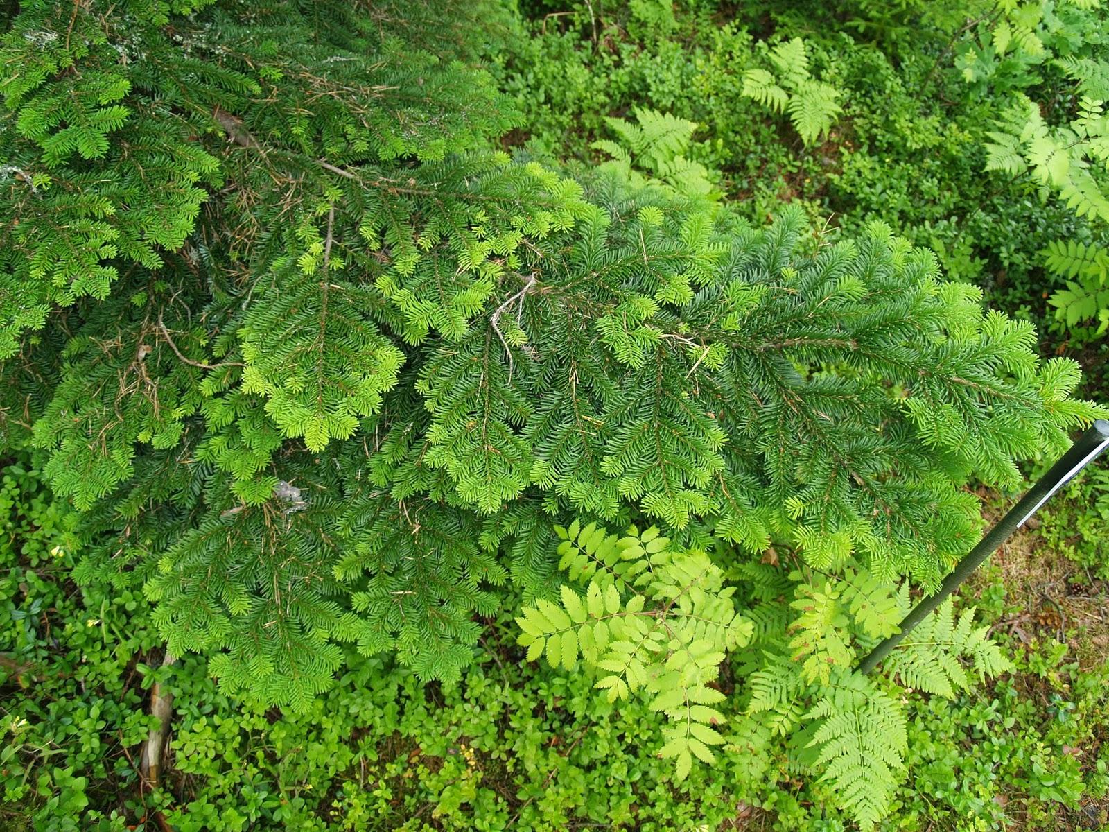 Mustilan arboretum, Arboretum Mustila