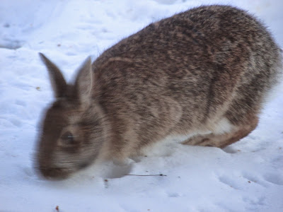 a rabbit this winter in our yard