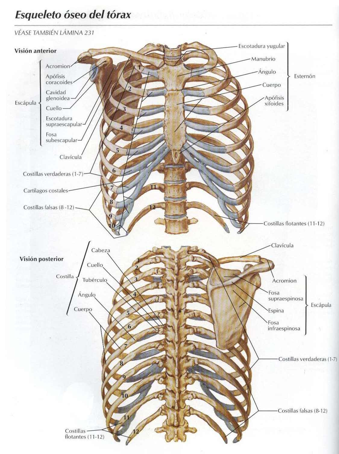 Módulo 2: Tórax | Guía de Morfología