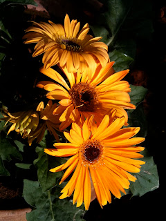 gerbera threesome