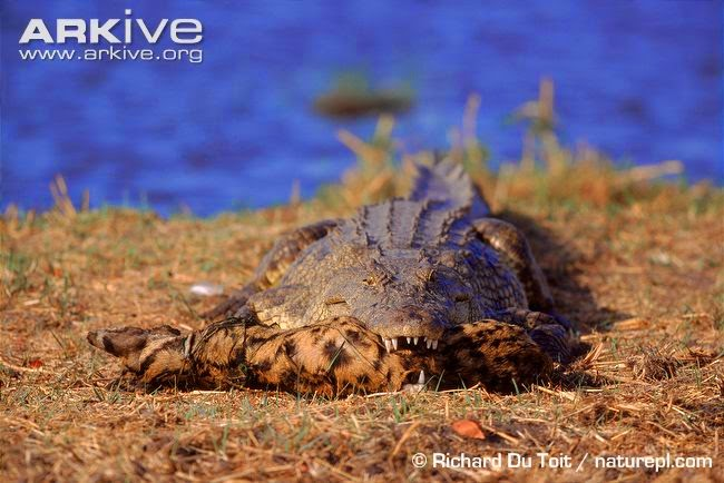 interactions between african wildlife nile crocodile