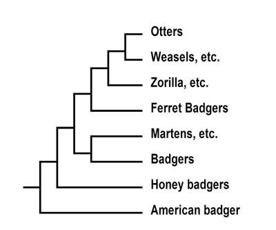 Weasel Ferret Family Weasel Family Tree