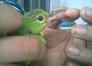 Burung bakalan , alasan utama beberapa penghobi ocehan burung beli ...
