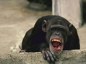 Imagenes Graciosas de Animales, Chimpace