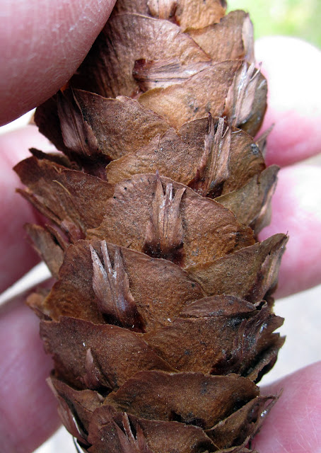 Cone of a douglas fir, Pseudotsuga menzesii, showing the typical shape of the bracts. High Elms Country Park, 4 June 2011.