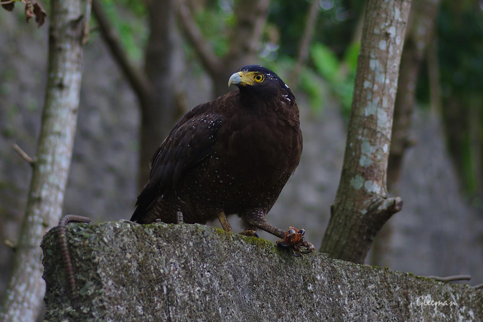 大冠鷲 , 阿鷲吃蝸牛, 雞南山