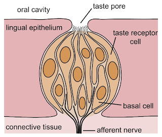 Picture of a taste bud