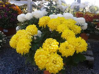 Tots Sants flors Garden Gaià rams centres