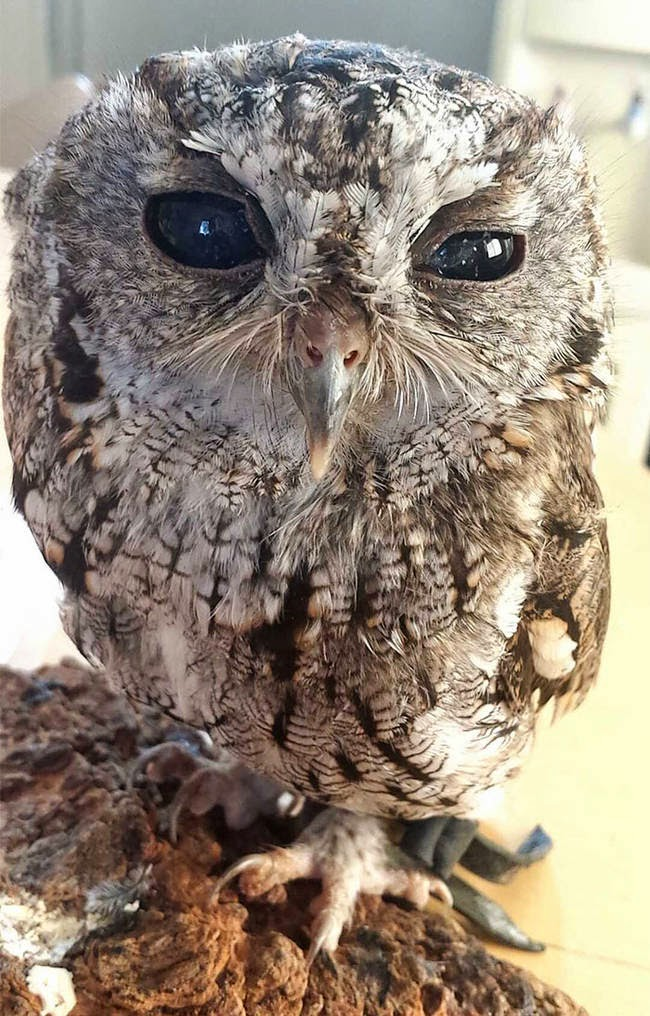 He's very friendly and loves being around people. - It Appears This Gorgeous Blind Owl Has Awe Inspiring Constellations In His Eyes