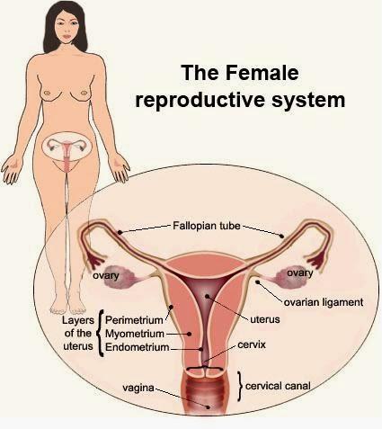 Ilustrasi Organ Reproduksi