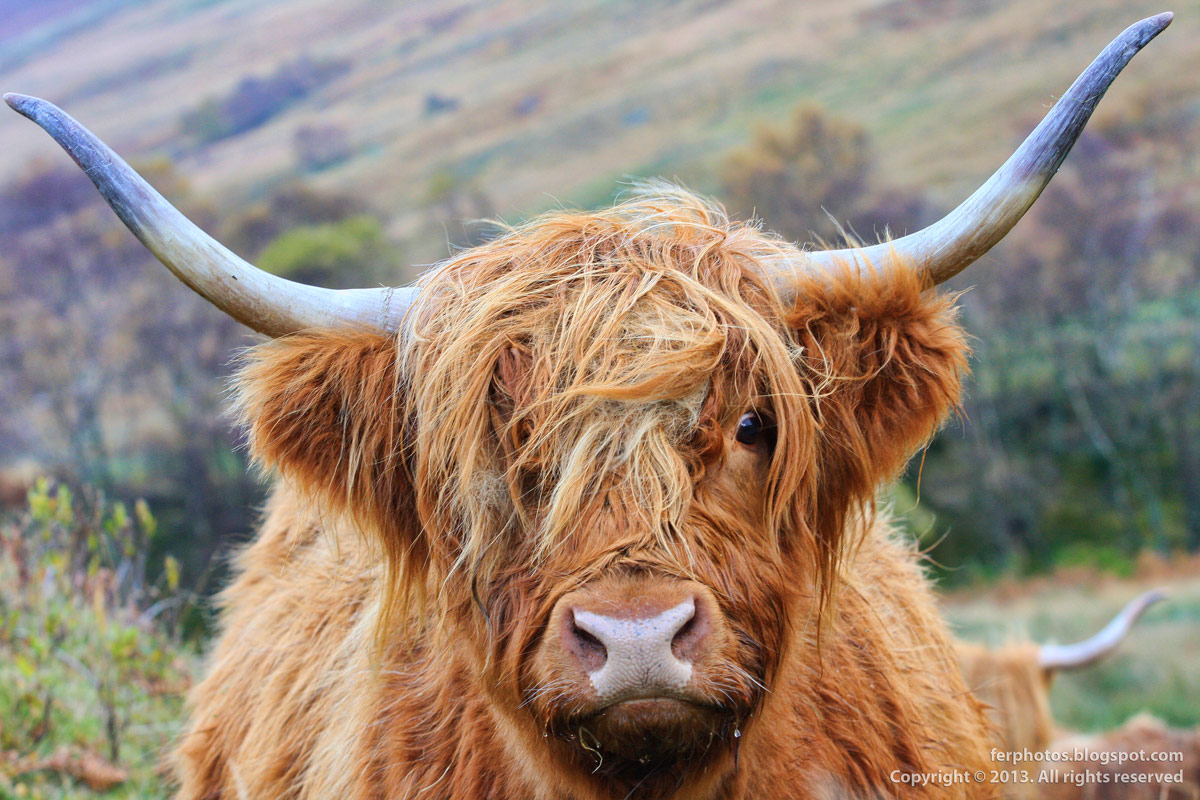 Scottish Red Highland cattle breed with long horns hairy cow