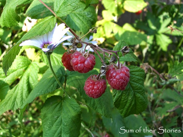 Silent Sunday Raspberries in our Garden July 2014
