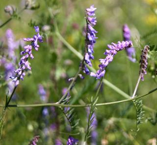 http://fr.wikipedia.org/wiki/Luzerne_cultiv%C3%A9e