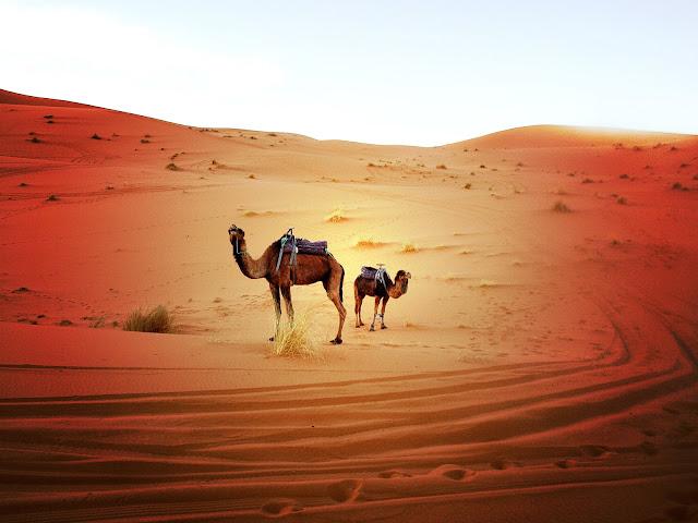 Camellos en el Sahara, Marruecos. Red Morocco by Marta Viader.