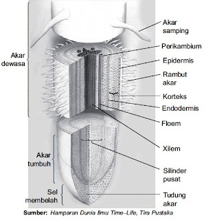 Struktur morfologi akar