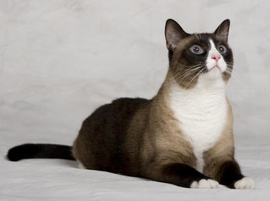 Snowshoe Siamese Pictures