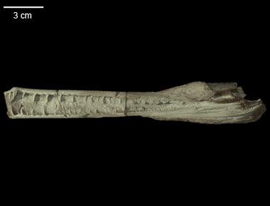 Pelagosaurus skull