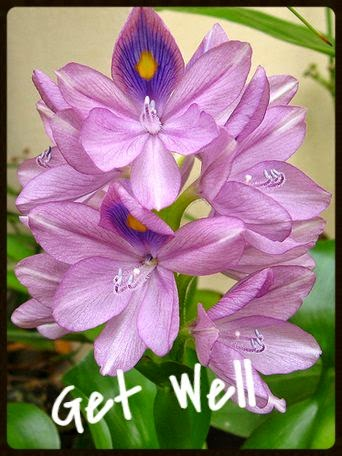 get well water hyacinth