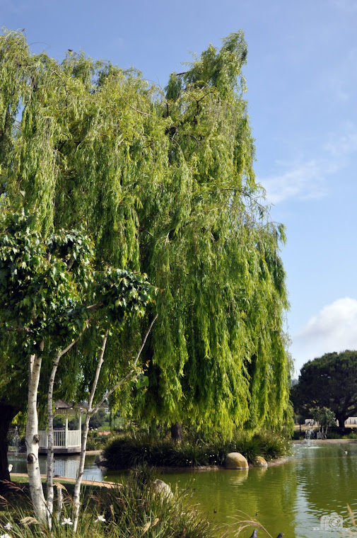 Weeping Willow by the Lake