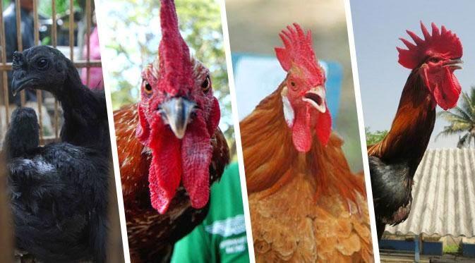Ayam Termahal Di Indonesia