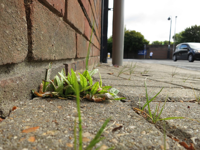 Plant growing through paving stones in town.