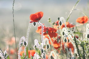 Mohn am Morgen: ↓
