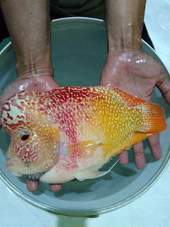 Louhan Golden, Yellow Fish, Louhan Murah