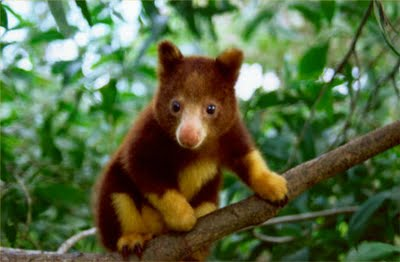 like other tree kangaroos goodfellows tree kangaroo is quite different in appearance from terrestrial kangaroos unlike its land dwelling cousins