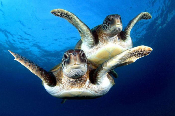 It seems that the turtles are flying during a joint swimming