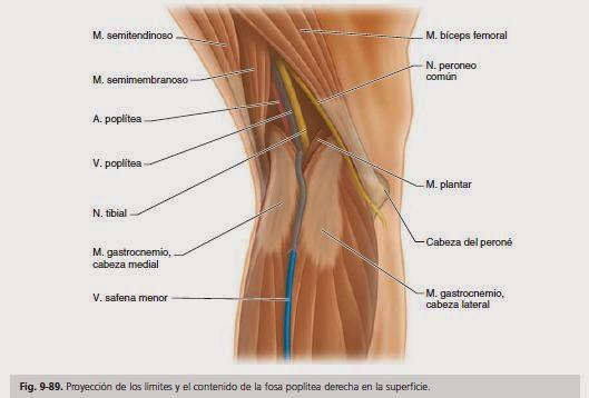 Anatomía para Cosmetología: FOSA POPLITEA